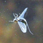 MAYFLY-PAINTING-BY-STEPHANIE