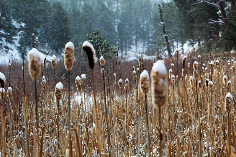 january 28 2019 cheeseman canyon cat tails