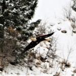 January 28 2019 eagle coming at me 2